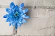 Blue chrysanthemum over grey brick wall