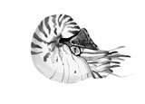 Graphic watercolor nautilus drawing, line drawing dudling, isola