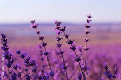 Lavender field in sunlight    © perminoffa