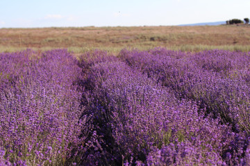 Blooming lavender field in sunlight. Provence