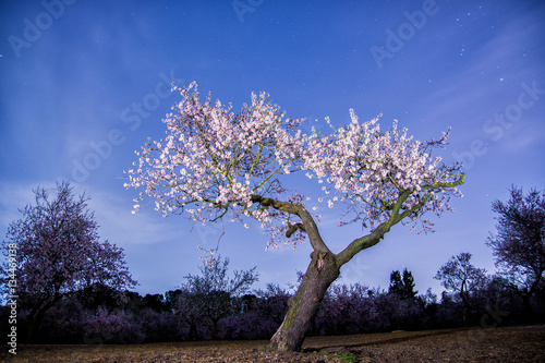 Poster Almond tree blooming at night