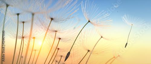 Leinwandbild Motiv Pusteblume im Sonnenlicht