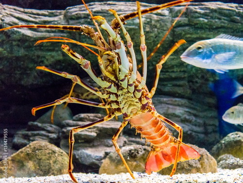 Poster Colourful Tropical Rock lobster under water
