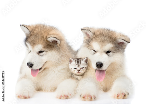 Two Alaskan malamute puppies lying with tiny kitten. isolated on white