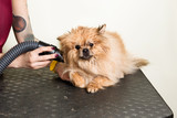 Female hands using hair dryer on cute dog in salon. Pet drying after a haircut