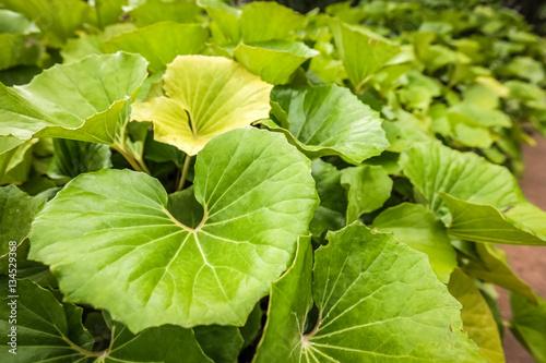 Poster Landschappen Big green leaves