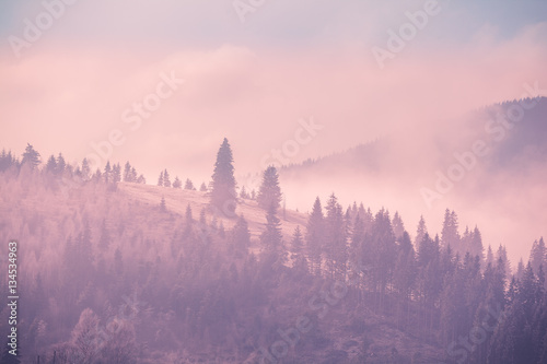 Foto op Aluminium Lichtroze Foggy autumn landscape at mountain valley with pine tree forest. Dramatic and picturesque morning scene. Vintage toning effect. Carpathians, Ukraine, Europe. Exploring beauty world