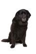 black Newfoundland dog