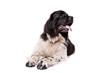 Black and White Newfoundland dog or Landseer
