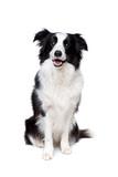 Czarno-biały pies collie