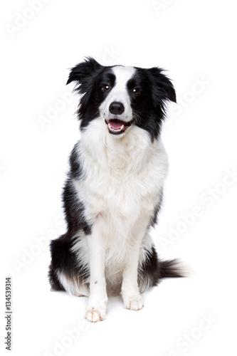 Poster black and white border collie dog