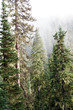 Trees and ground cover of a temperate conifer forest