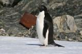 Adelle penguin