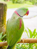Rose-ringed Parakeet, Psittacula krameri, also known as Ring-necked Parakeet, the beautiful green and red parrot bird with nice feathers details at Songkhla Thailand