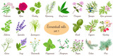 Big vector set of popular essential oil plants. Rose, Geranium, lavender, mint, melissa, Chamomile, cedar, pine, juniper, rosehip etc. For cosmetics store spa health care aromatherapy homeopathy - 134568303