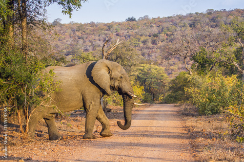 Poster African bush elephant in Kruger National park, South Africa