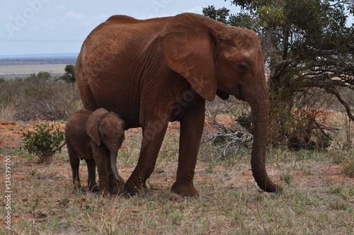 Poster elefante con cucciolo