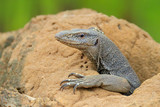 Monitor lizard near a small river, Varanus bengalensis, Sri Lanka, Asia