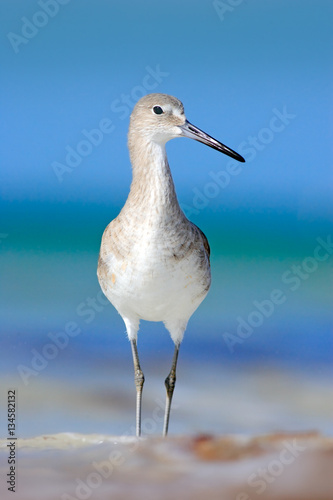 Fotobehang Bird in the water, blue sea surface. Willet, Catoptrophorus semipalmatus, sea water bird in the nature habitat. Animal on the ocean coast. Bird in the sand beach, beautiful bird from Florida, USA.
