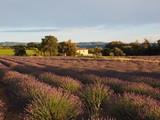 fleurs champ de lavande en Provence au coucher du soleil