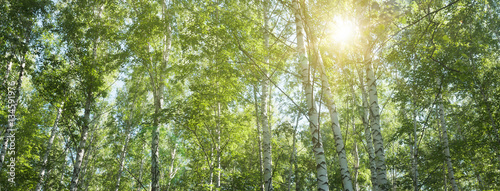 Fotobehang Berkenbos birch grove in the summer, upper branches of tree -- summer landscape, banner, panorama