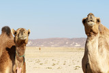 Two funny Camels in Oman