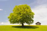 Große Buche auf der Wiese als Einzelbaum