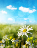 Daisy blooming in the meadow in sunny day. Spring season.