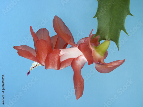 Phyllo cactus flower isolated on blue background. Pink Epiphyllum blooming.