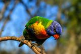 Perched lorikeet in Brisbane Australia