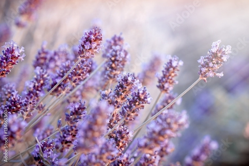 Fotobehang Purper Soft focus on lavender flowers in flower garden behind my home, lavender flowers lit by sun rays