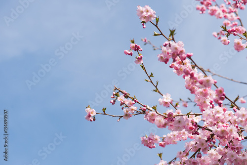 kirschblütenzweige Poster
