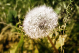 Mature dandelion flower with seeds.