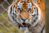 Tiger behind a fence with eye contact