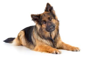 German shepherd long-haired dog portrait studio isolated