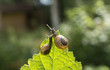 Two garden snails on a leaf currant looking into the distance, bokeh in the background