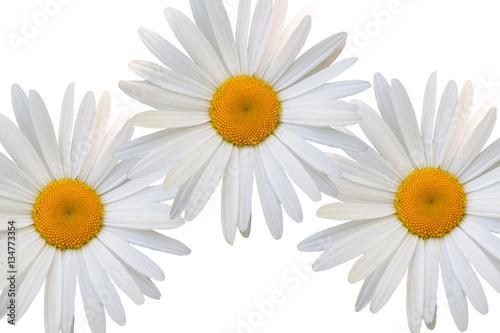 Foto op Canvas Madeliefjes beautiful flower daisy