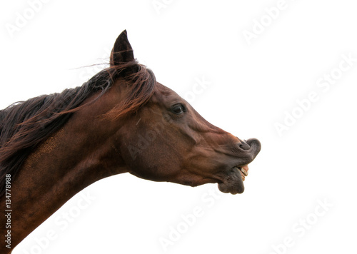 Dark bay horse exhibiting flehmen response with his upper lip curled up, on whit Poster