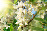 flowers white acacia, spring natural background - 134782129