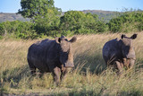 Rhino's in South Africa