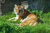 Ussuri tiger