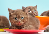 Brown kittens on colorful plates