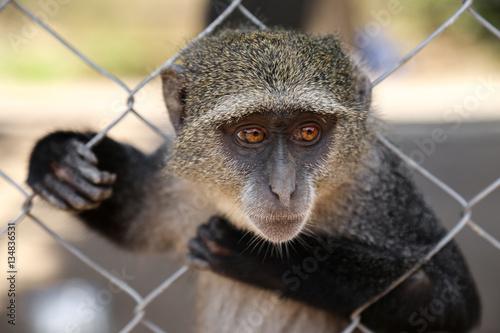 Foto op Canvas Aap a monkey in a cage