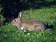 Постер, плакат: Rabbits are small mammals in the family Leporidae of the order Lagomorpha found in several parts of the world