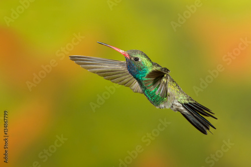 Poster Broad-billed Hummingbird flying