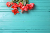 Pink tulips on turquoise painted wooden background.