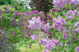 Flowering branch of lilac - 134879743