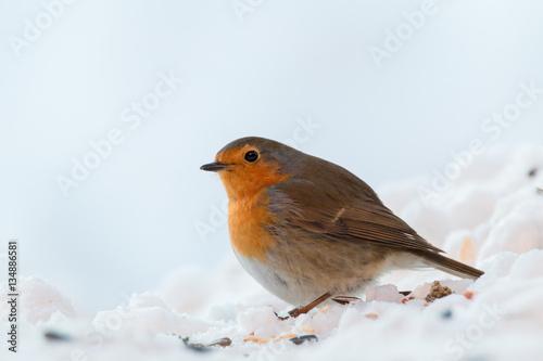 Poster robin redbreast