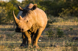 Rhino At Sundown