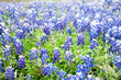 A field of bluebonnets, the Texas state flower, in soft focus creates a pleasant rustic background scene.